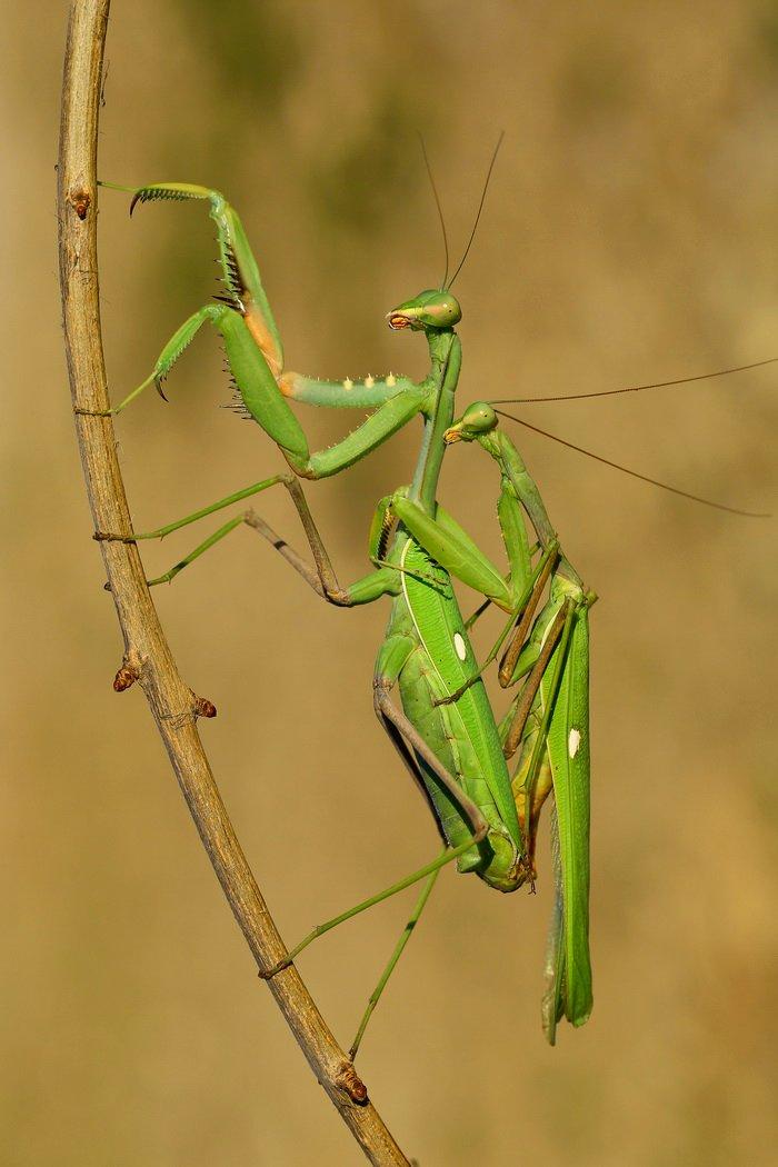 Macro, Mating, North cyprus, Praying mantis, Hasan Baglar