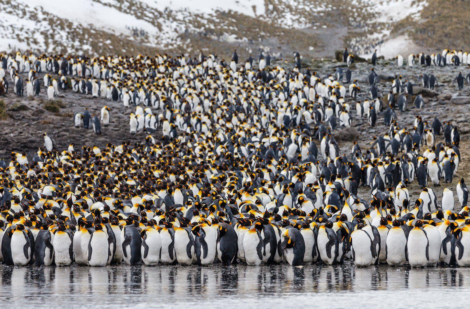 Антарктика, Королевский пингвин, Южная Георгия, Роман Мурушкин