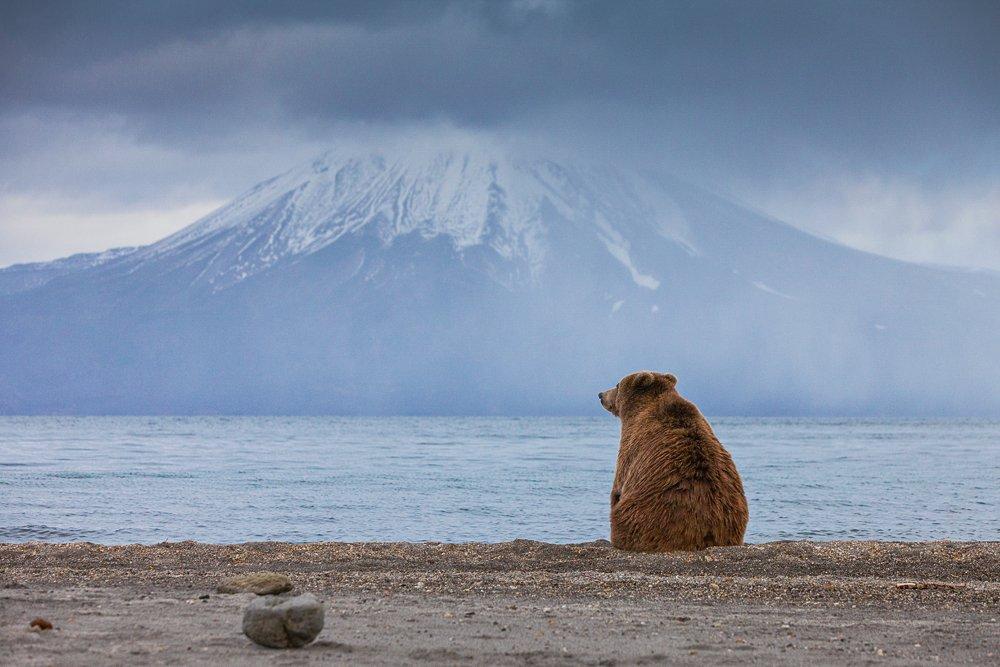 Бурый медведь, Камчатка, Курильское озеро, Сергей Краснощёков