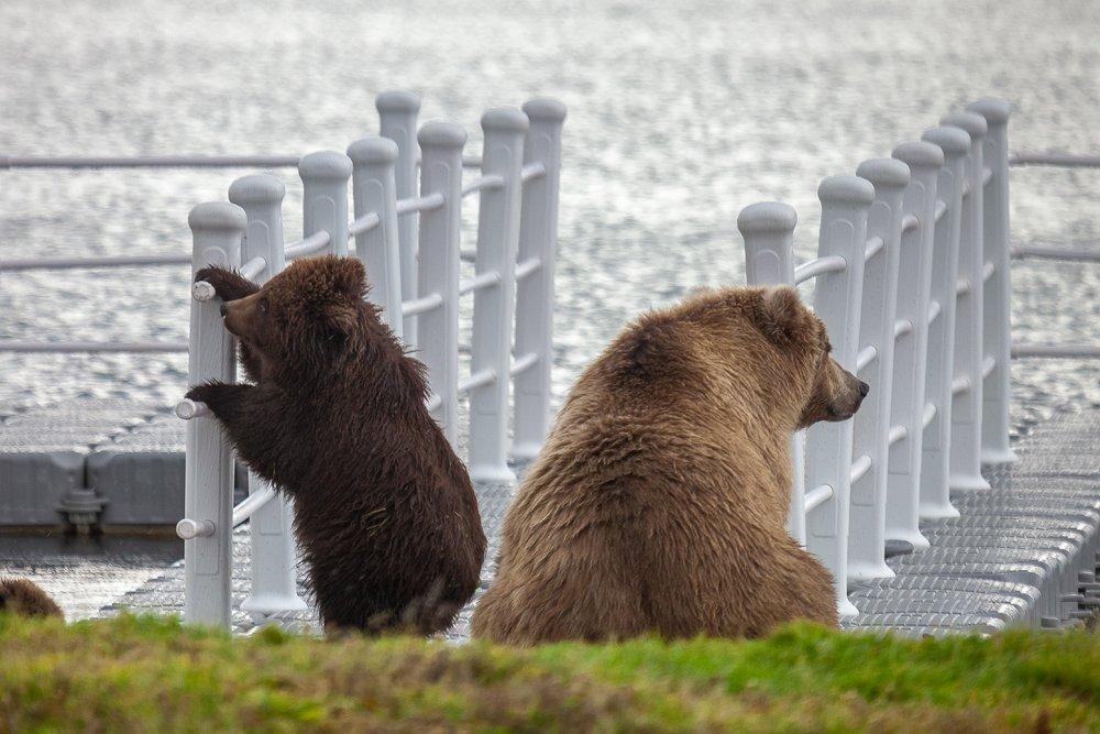 Курильское озеро, Медведи, Сергей Краснощёков