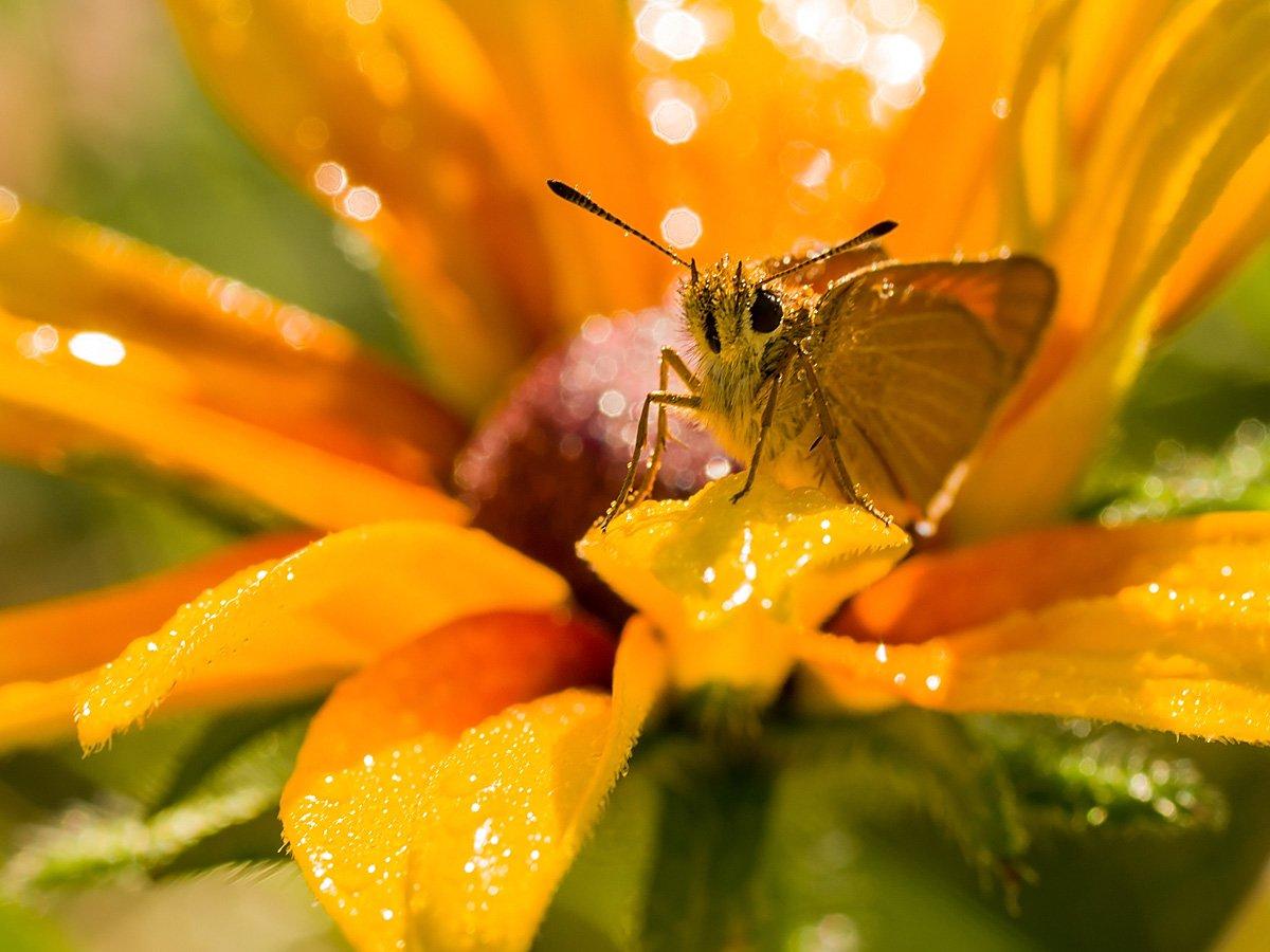 толстоголовка, бабочка, Ирина Белотурова