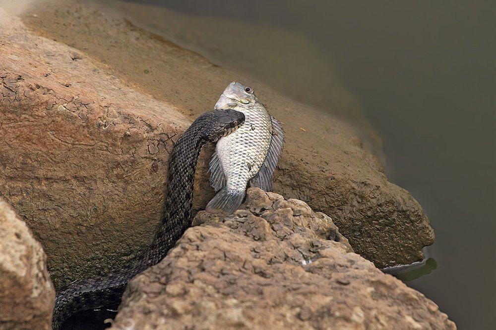 70200, 7d, animals, fish, snake, животные, змеи, рыба, уж, Yuri Gomelsky