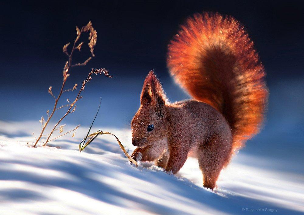 белка, зима, снег, Полюшко Сергей