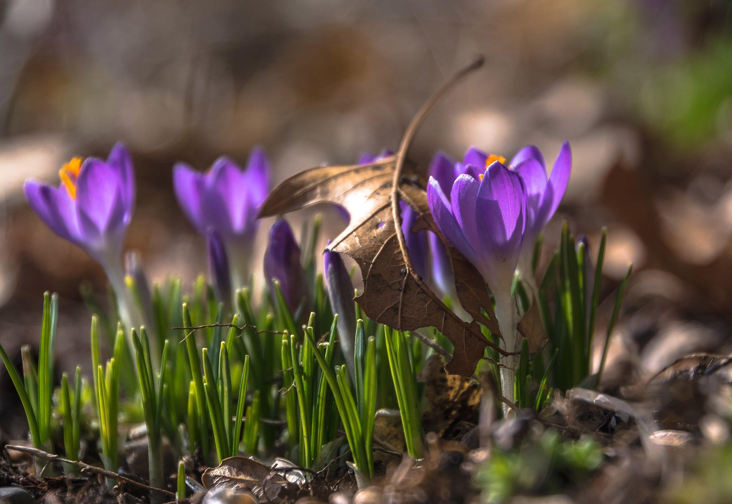 Весна, Крокусы, Природа, Флора, Цветы, Антонина