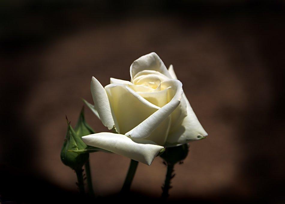 белая роза, Maria V. Gorskaya