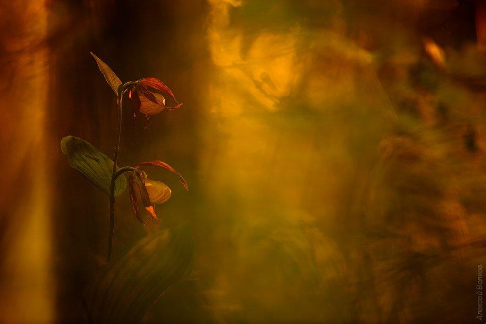 венерин башмачок, цветок, крсная книга, Алексей Волков