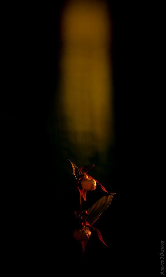 Венерин башмачок, цветок, красная книга, Алексей Волков