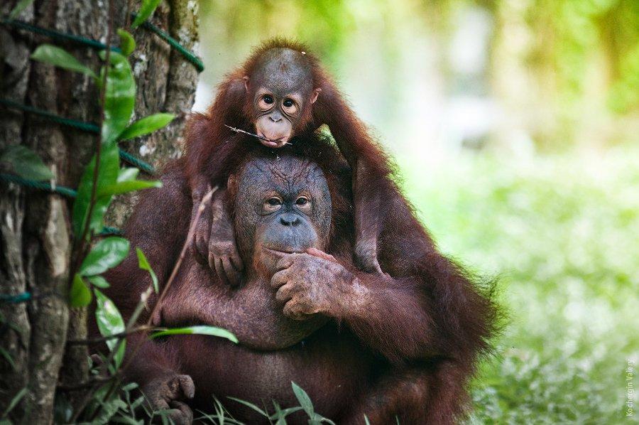 орангутанг, азия, малайзия, обезьяна, Kochergin Valery
