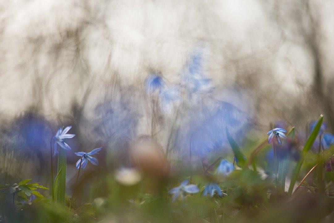 апрель, весна, воронеж, краски, пролеска, свет, цвет, цветы, Геннадий Мещеряков
