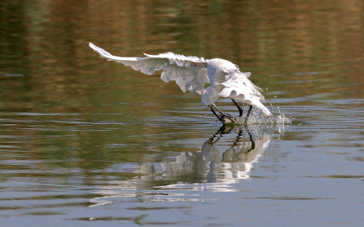 Animals, Birds, Egret, Fish, Дикая природа, Животные, Охота, Птицы, Рыба, Цапля, Yuri Gomelsky