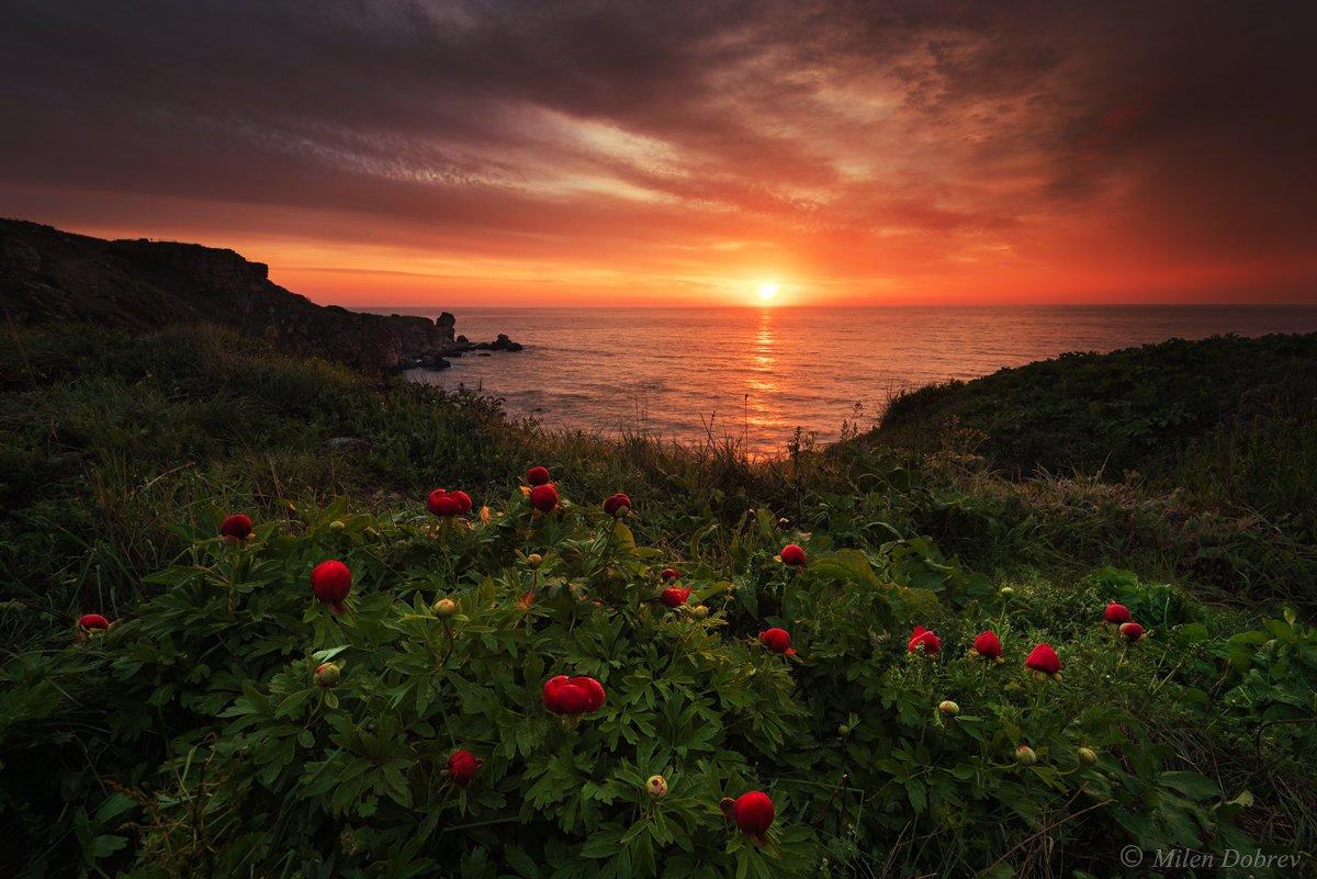 peonies, landscape, sunrise, Bulgaria, nature, environment, Милен Добрев