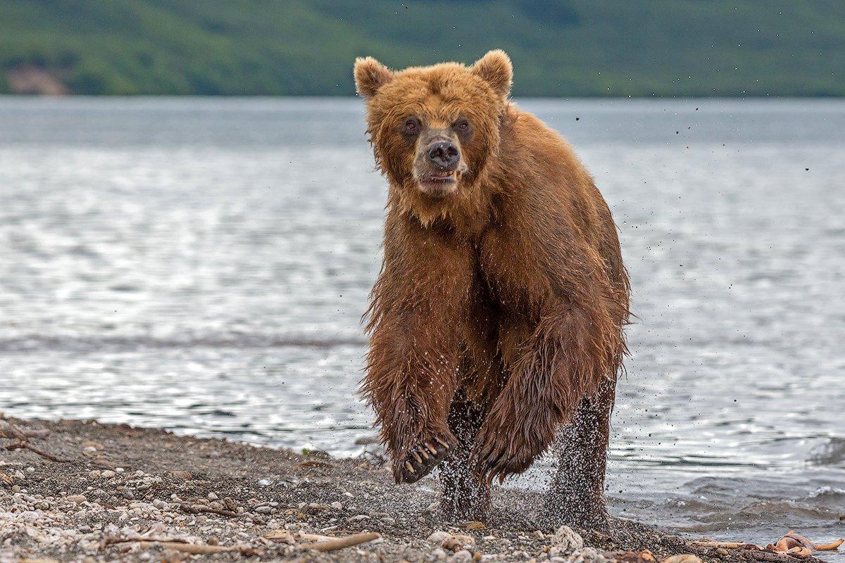 камчатка, медведь, опасность, Денис Будьков