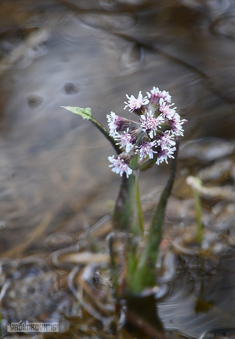 цветок, природа, урал, лес, VadimKOVA