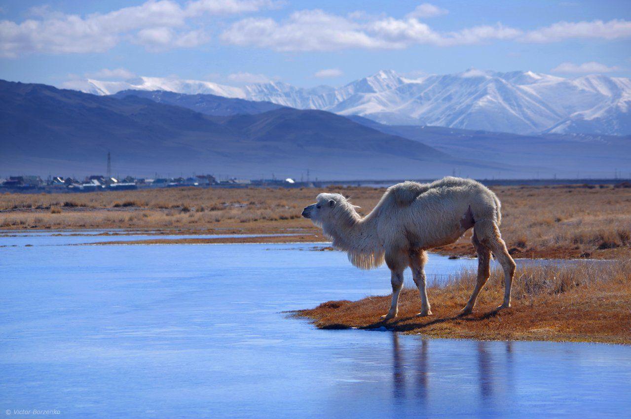 алтай, весна, май, кош-агач, чуйская степь, верблюд, Виктор Борзенко