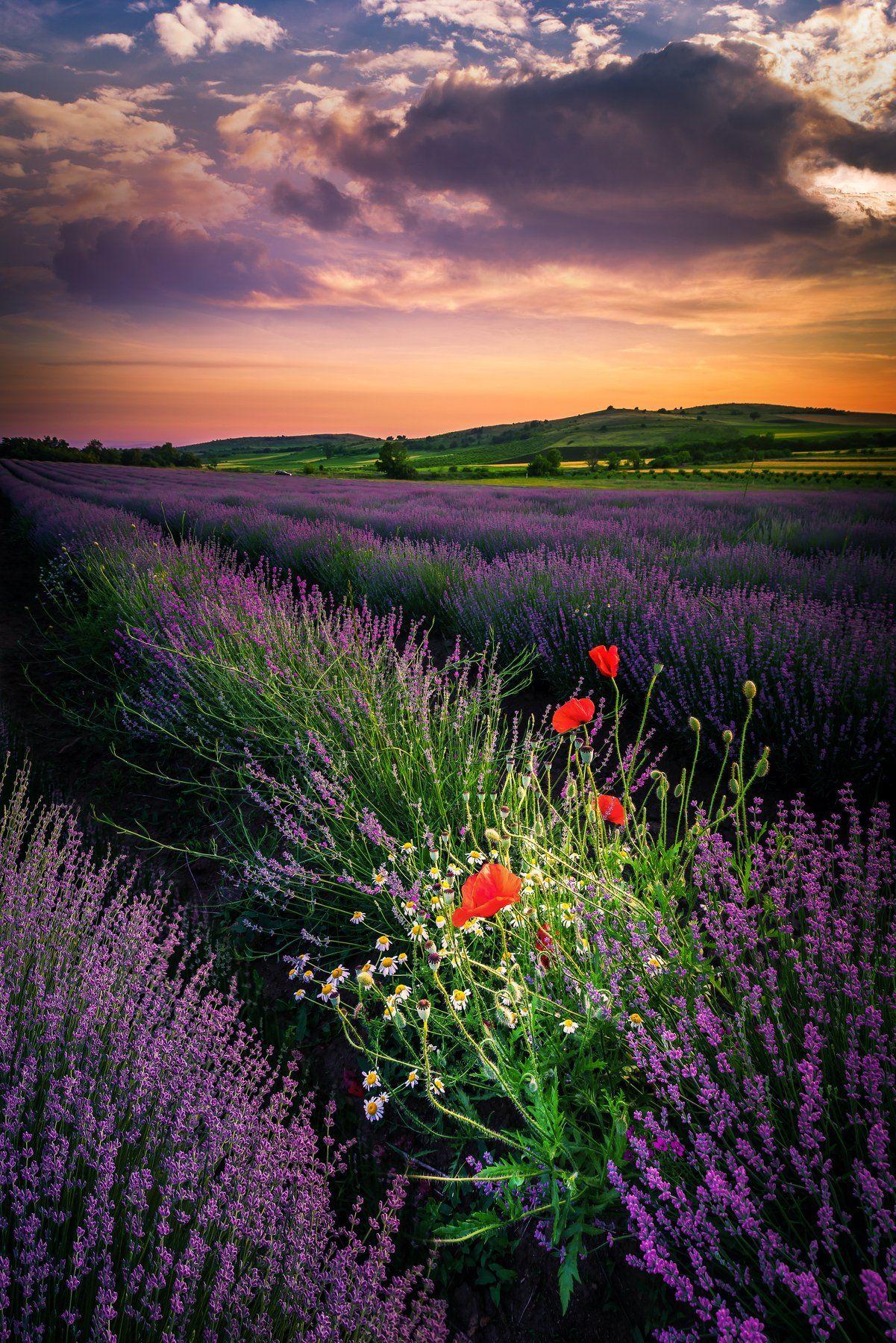 sunset, lavender, flowers, poppy,clouds, landscape,field, Jeni Madjarova