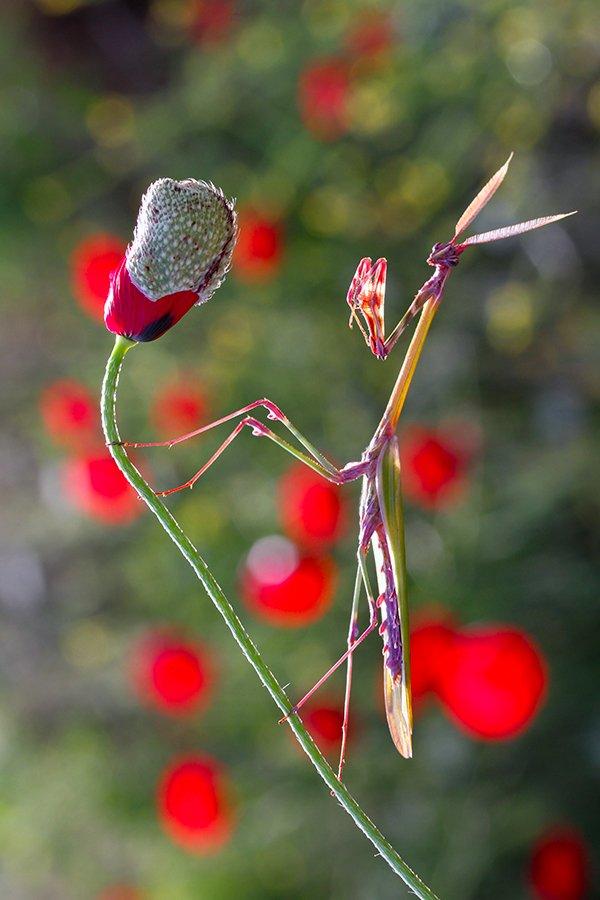 nature, macro, mantis, spring, mehmet