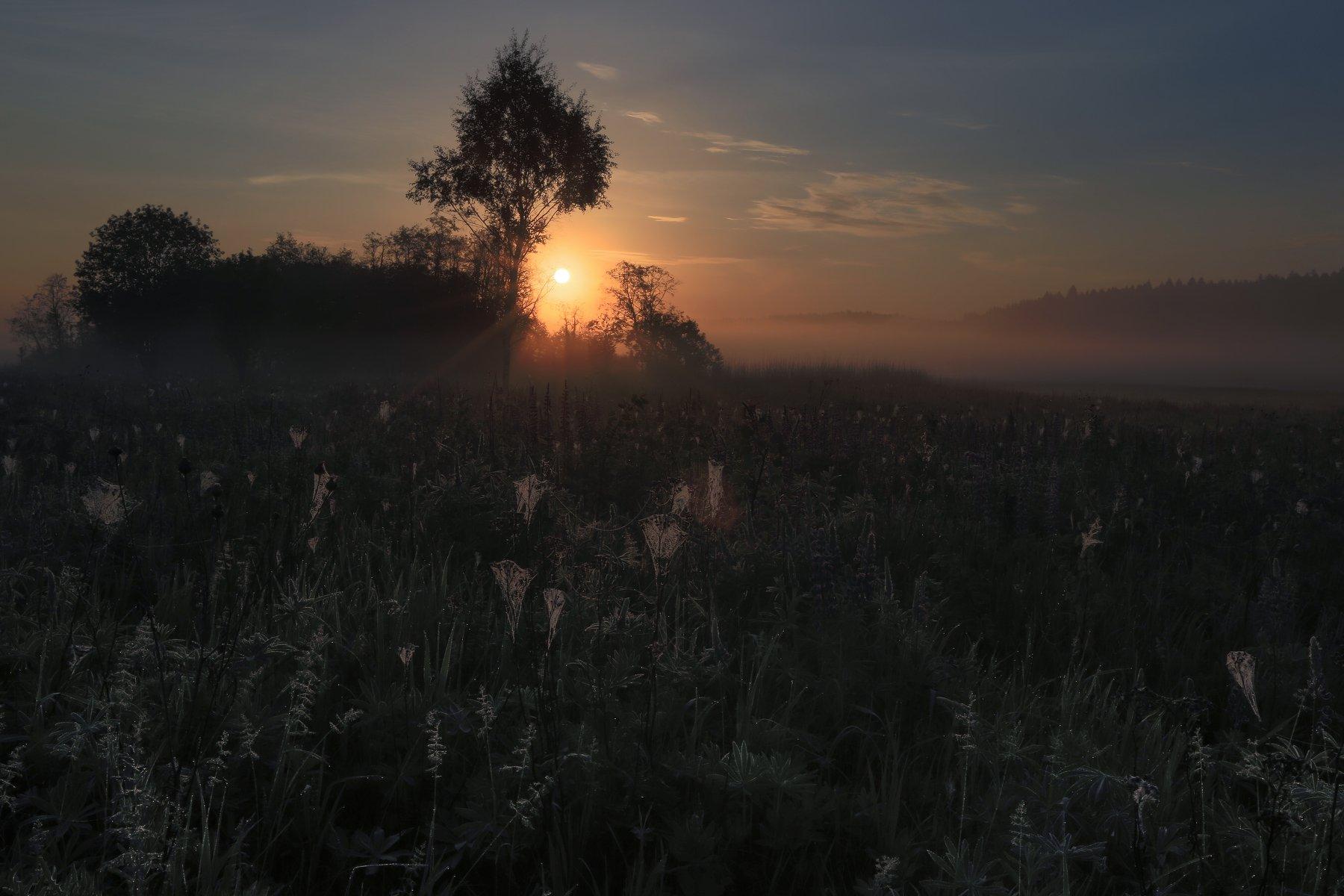 рассвет, восход , солнце,лучи,туман,роса,люпины,паутина, Ирина Назарова