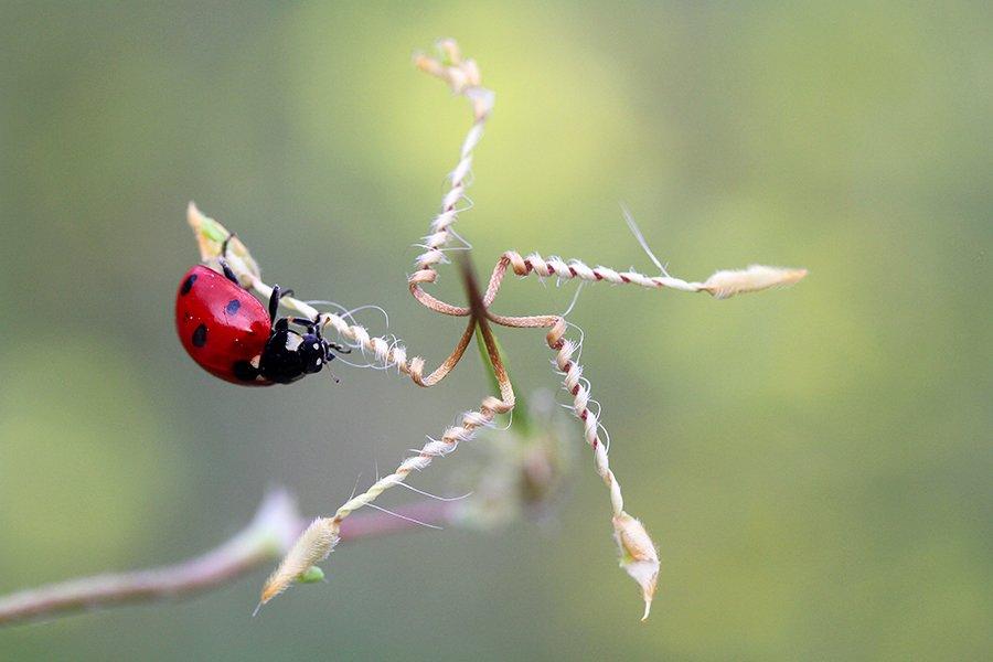nature ladybug macro , mehmet