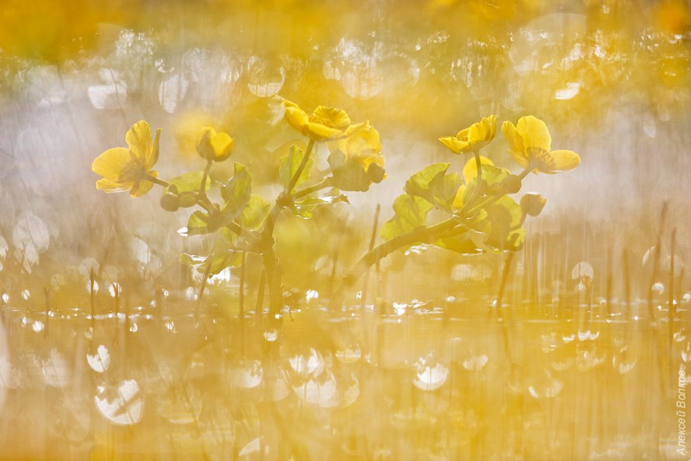 Калужница болотная, природа, флора, цветы, цветок, озеро, Алексей Волков