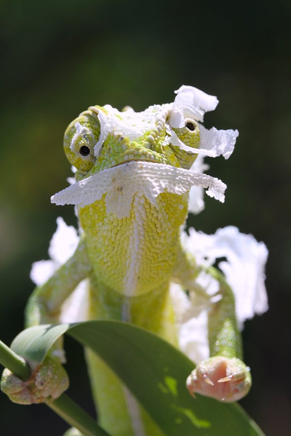 nature chameleon animal, mehmet