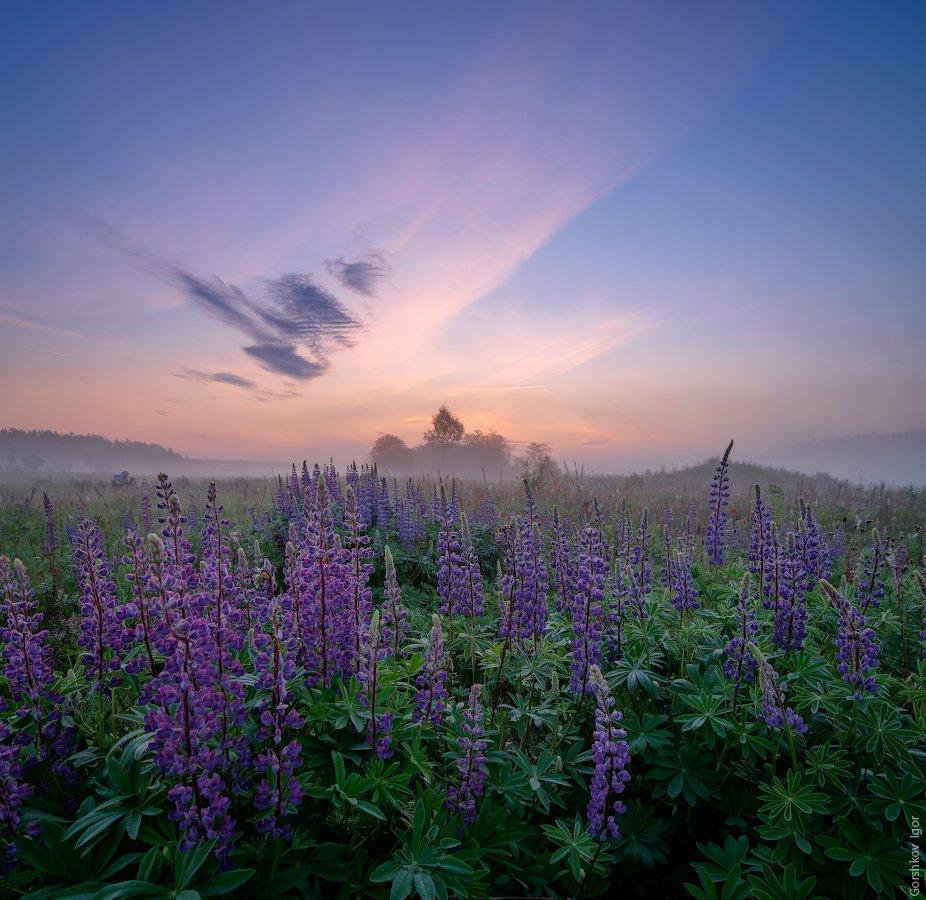 лето, люпины, небо, пейзаж, полевые цветы, рассвет, угра, утро, цветы, Горшков Игорь