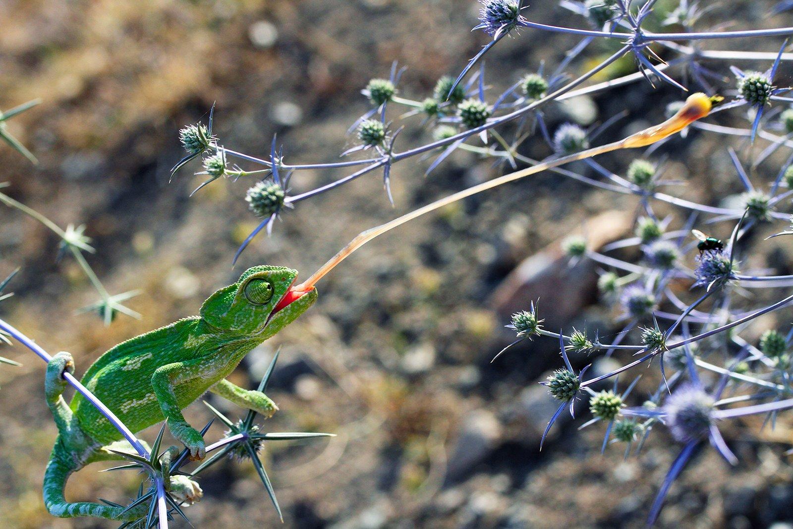 chameleon nature animals, mehmet