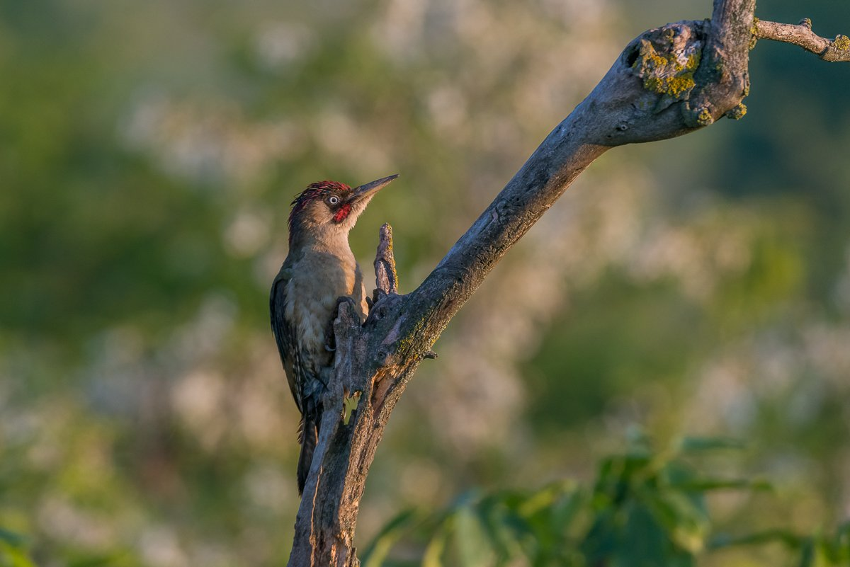 european green woodpecker, green woodpecker, picus viridis, dzięcioł zielony, aves, birds, ptaki, dominik chrzanowski fotografia przyrodnicza, dominik chrzanowski wildlife photography, Dominik Chrzanowski