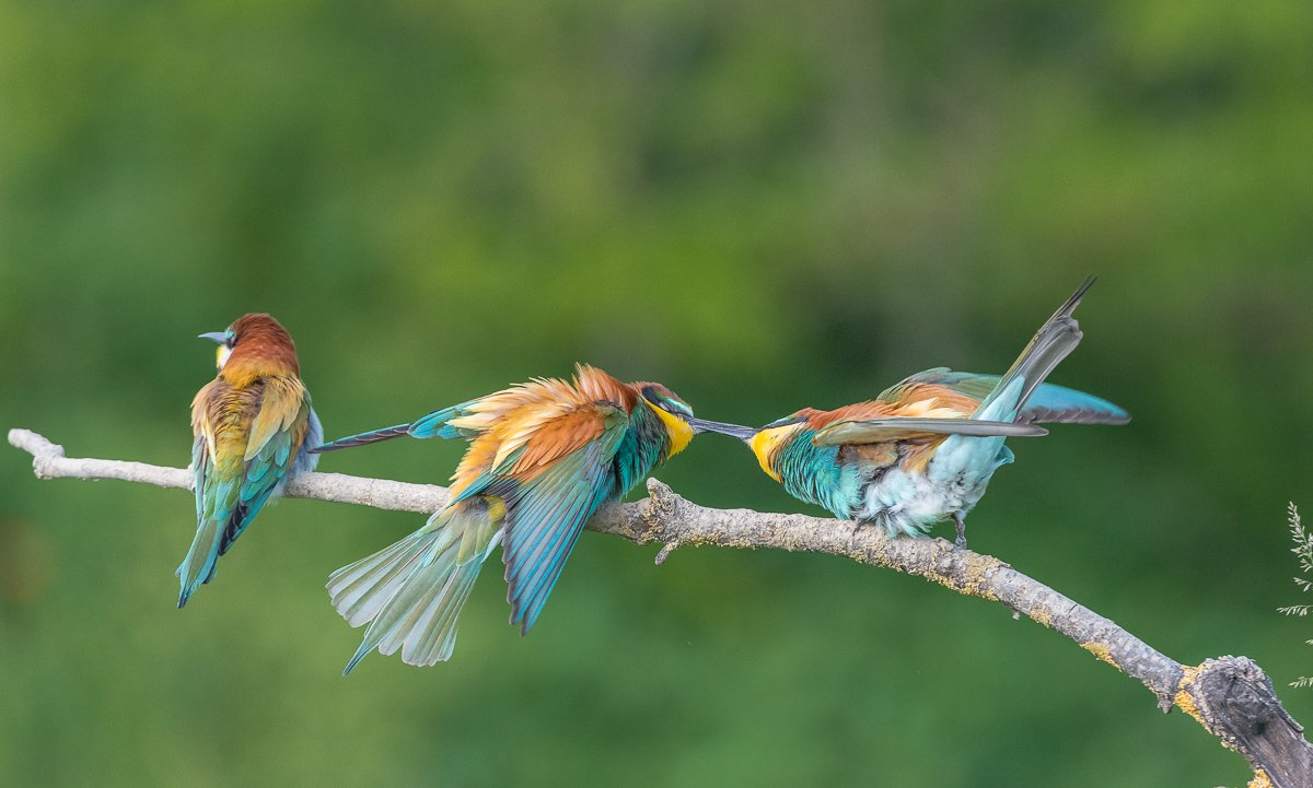 european bee-eater, aves, birds, merops apiaster, dominik chrzanowski wildlife photography, Dominik Chrzanowski