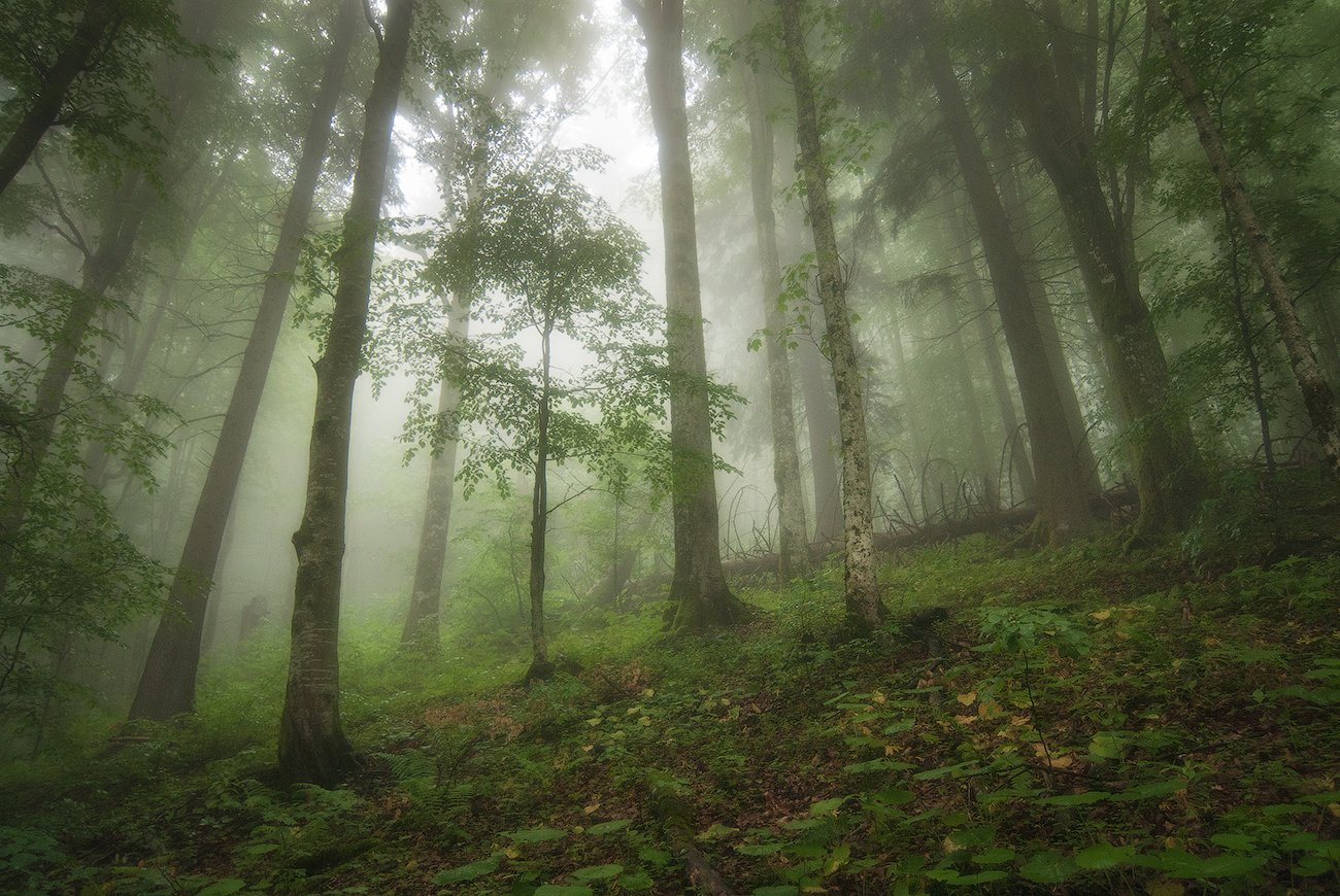 Карпаты, Лес, Молодой, Туман, flyman