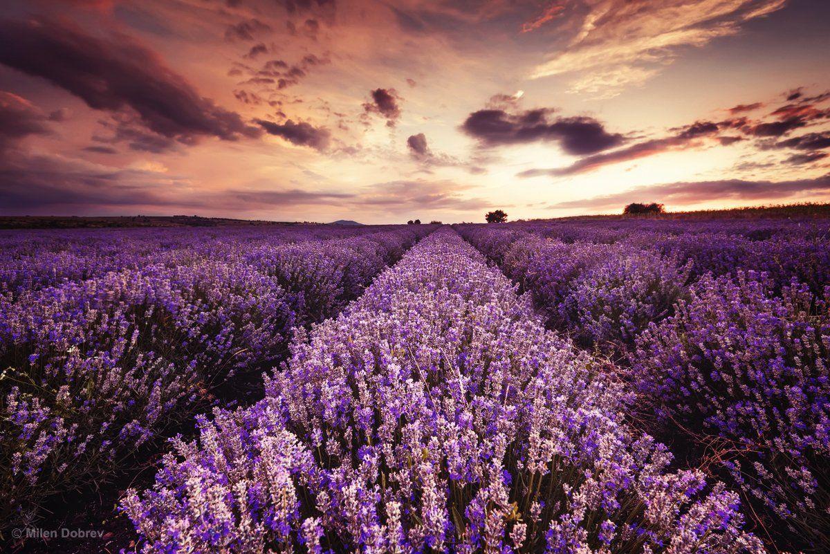 Bulgaria, lavender, landscape, sunset, закат, лаванда, Милен Добрев