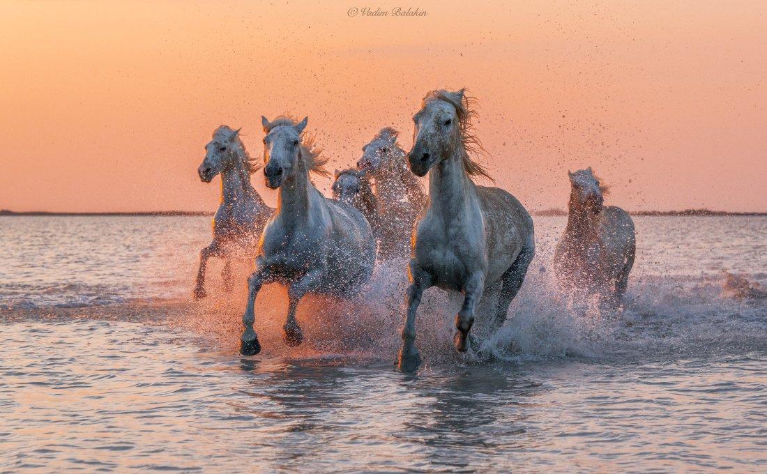 Дикая природа, Дикие животные, Закат, Закатный пейзаж, Лошади, Лошадь, Море, Пейзаж, Прованс, Франция, Вадим Балакин