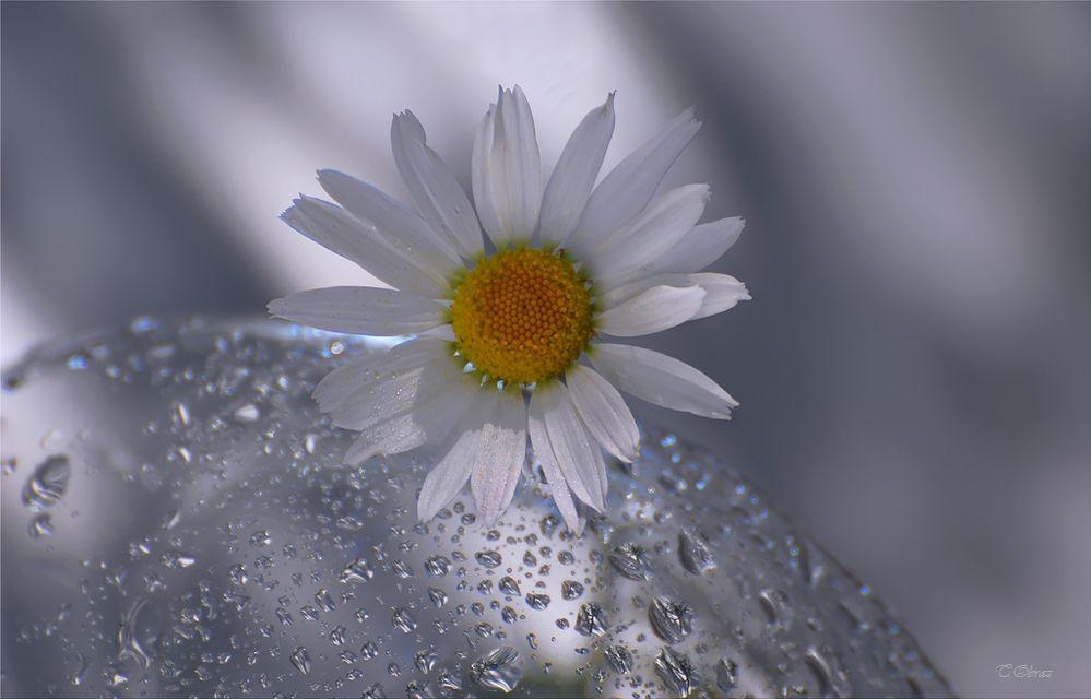 ромашка, цветок, Татьяна Образ