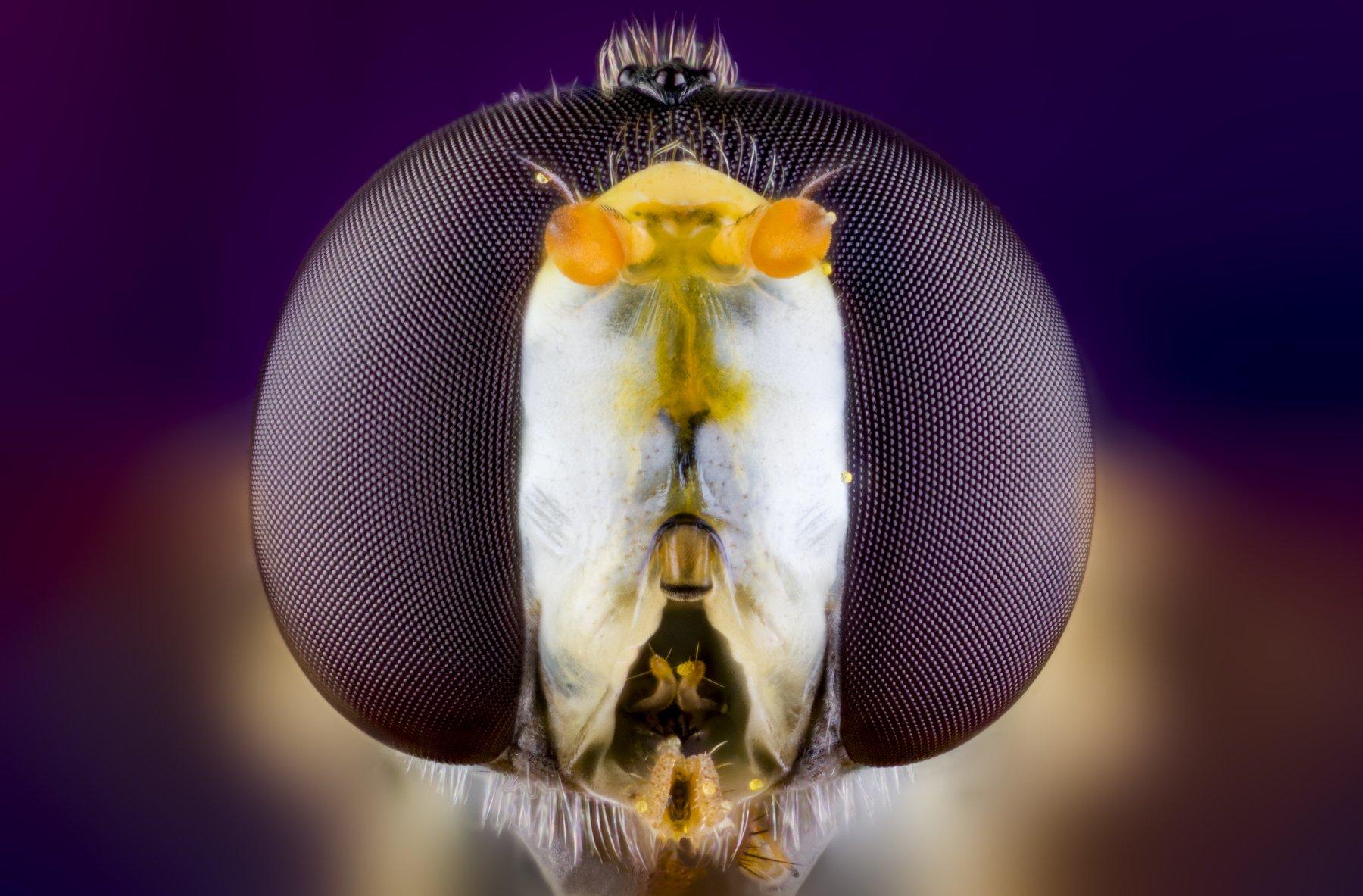 macro wild insect, ნიკოლოზ მესხი