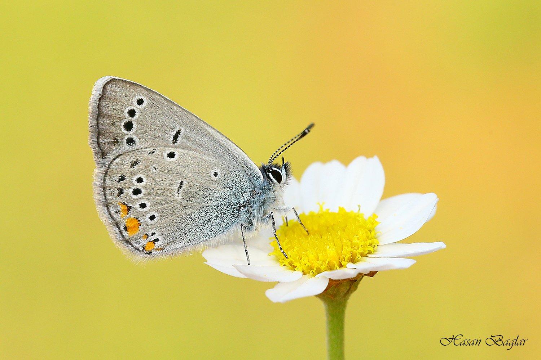 Butterflies, Daisy, Flowers, Hasan Baglar