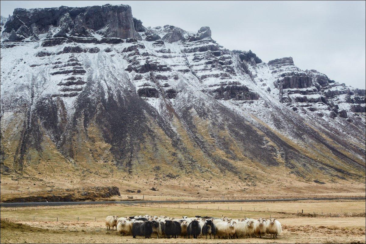 Исландия овцы скалы портрет пейзаж, Vadim Nikiforov
