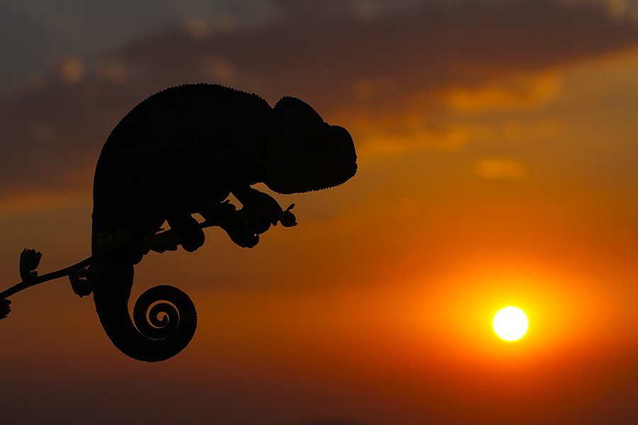 sun,nature,animal,sunset,chameleon,wildlife,summer,canon, mehmet
