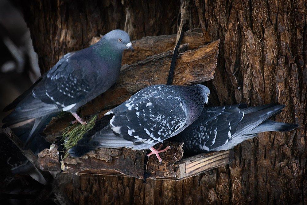 зима, голуби, кормушка, nadyk