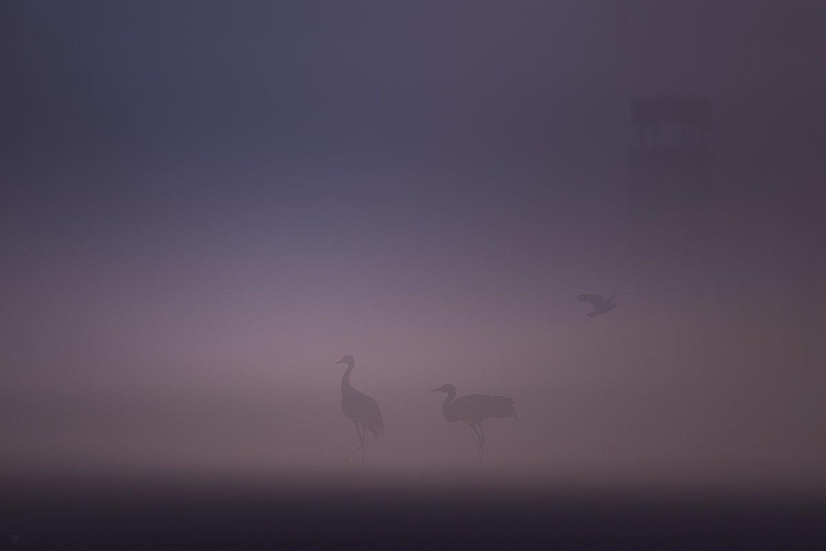 birds, fog, crane, lapwing, Wojciech Grzanka