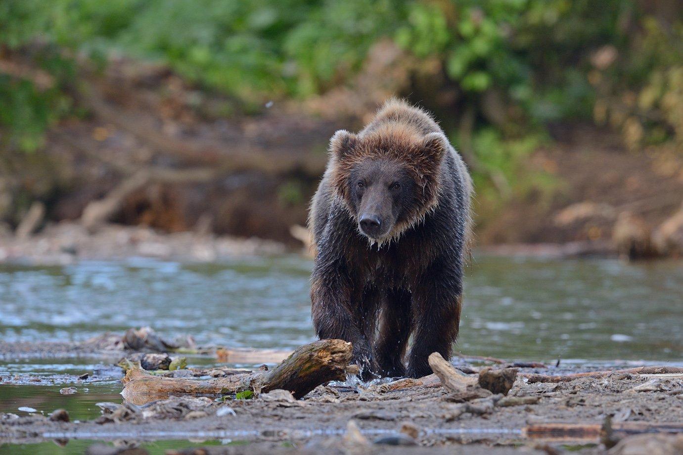 Бурый медведь, Александр Малецкий