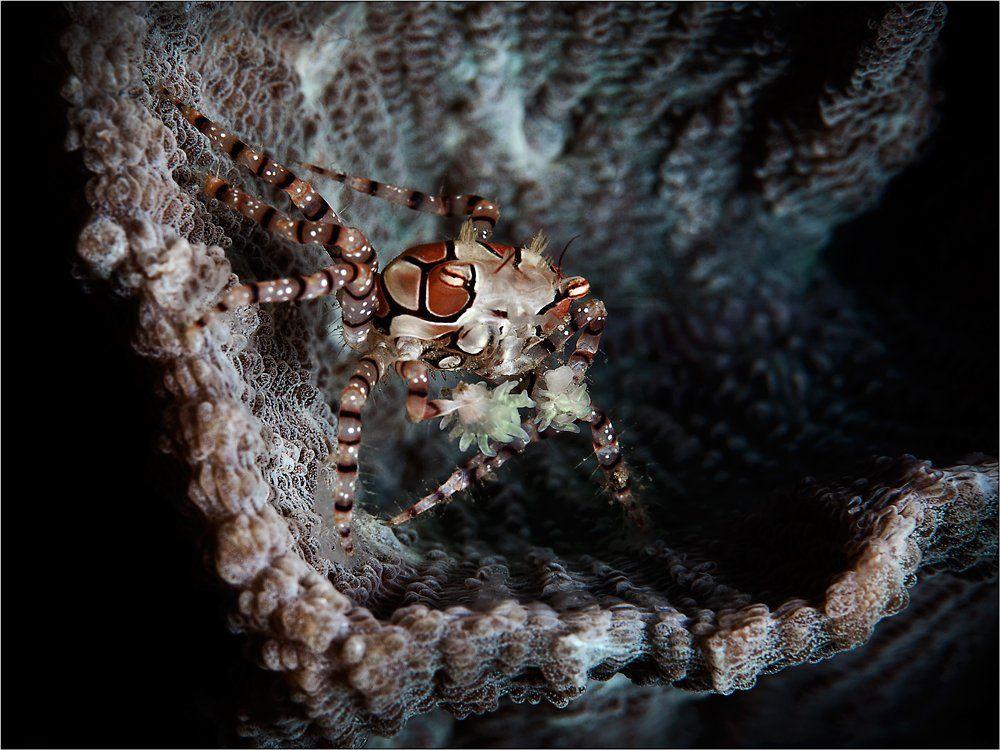 Краб-боксер, Индонезия, Северный Сулавеси, пролив Лембе, boxer-crab, North Sulawesi, Lembeh Strait, underwater photography, Олег Федин