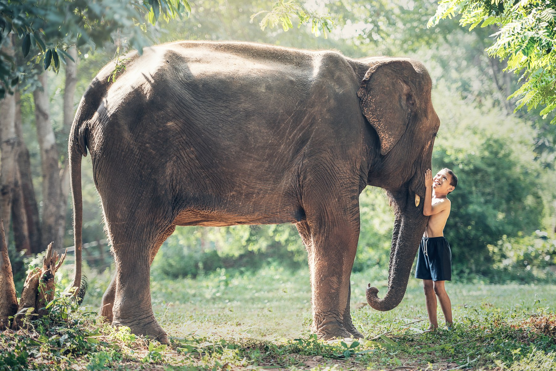 africa, animal, asian, attachment, ayutthaya, beast, big, black, boy, bright, cambodia, canny, child, clasp, close, conservation, drag, elephant, endangered, friend, friendship, heavy, herbivore, hug, huge, innocent, intelligent, jungle, laos, large, life, Sasin Tipchai