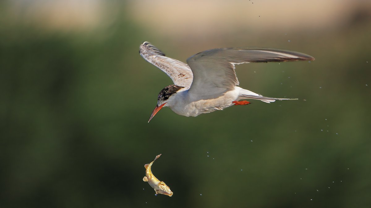 150600, 7d, animals, birds, fish, tern, животные, крачка, охота, рыбы, Yuri Gomelsky