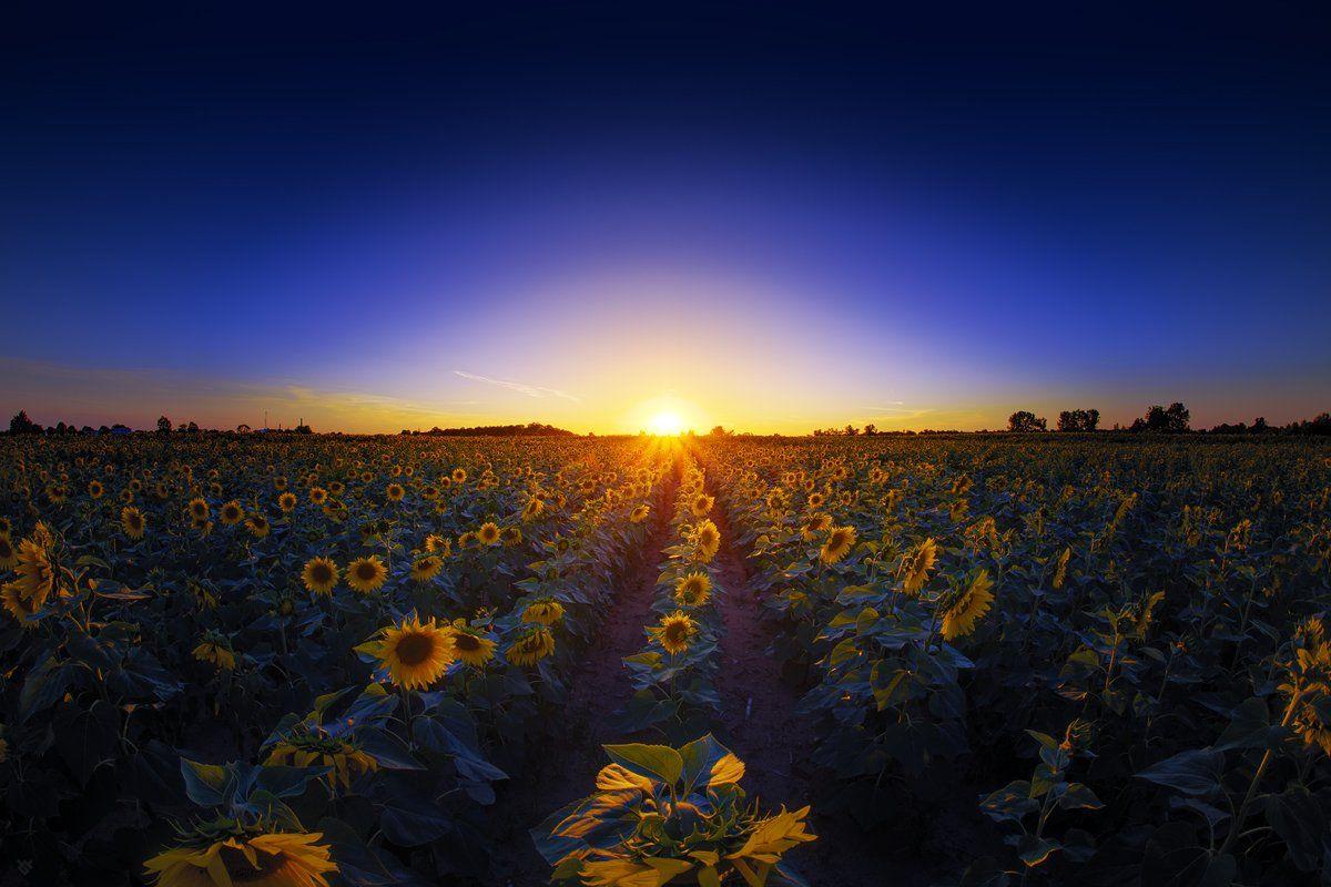 sunflowers, field, sunset, Wojciech Grzanka