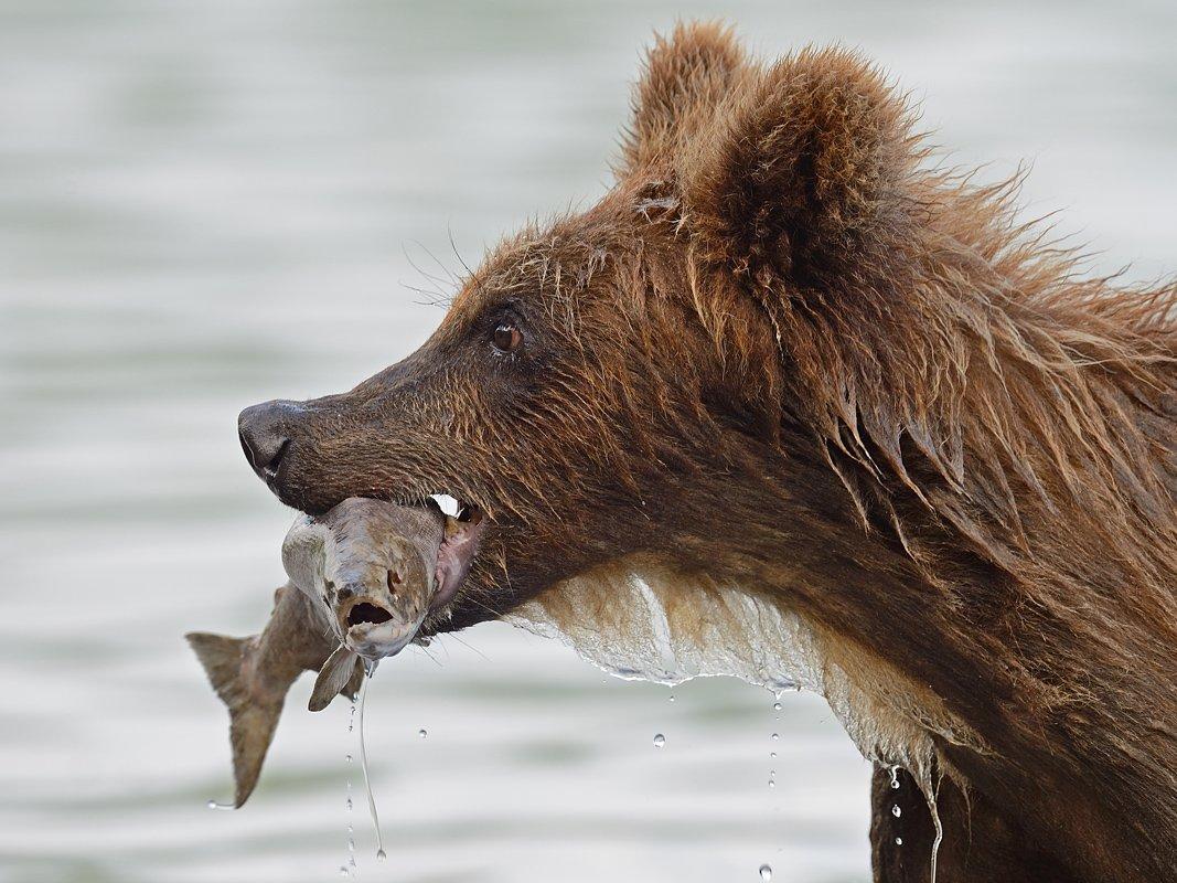Бурые медведи, Курильское озеро, Александр Малецкий