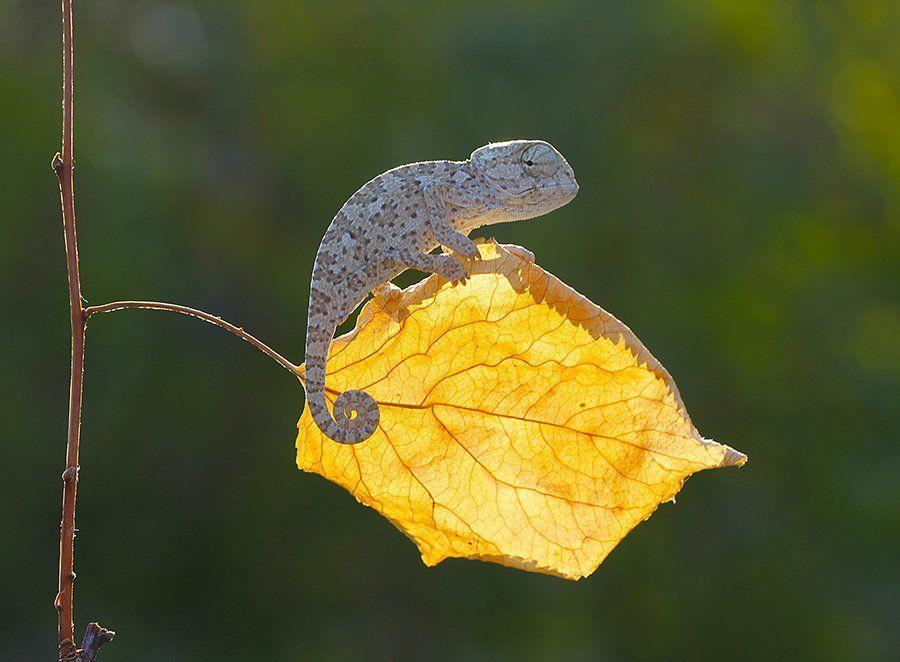 nature,animal,cute,canon,chameleon, mehmet