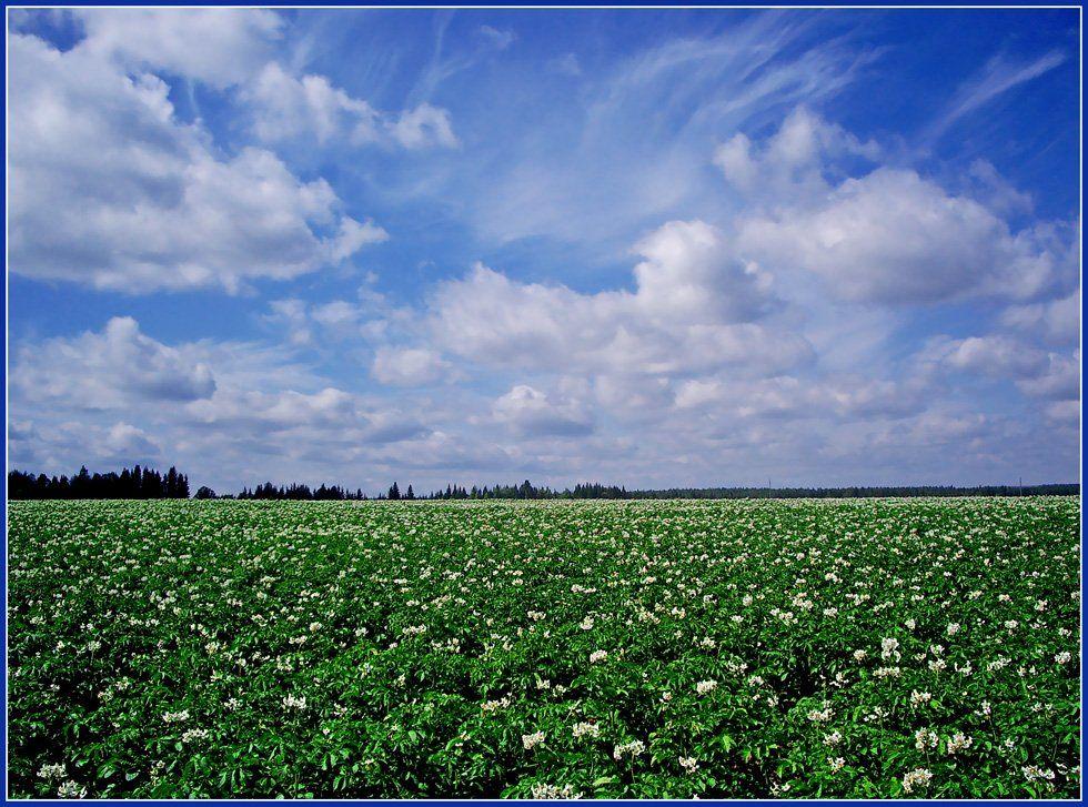 картофель,поле,небо,лето, Андрей,любитель 35photo