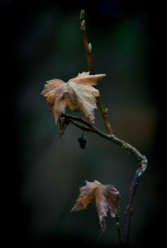 осень, смородиновый, куст, листья, nadyk