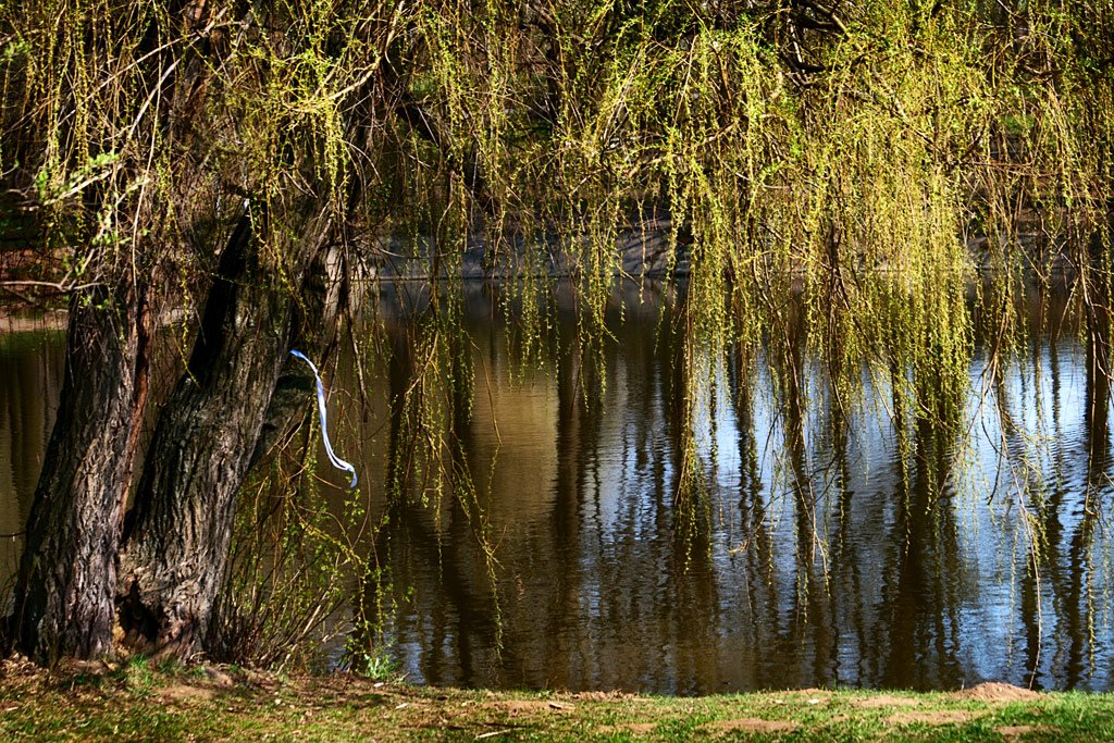 весна, май, пруд, ива, природа, nadyk