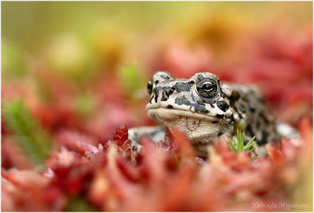 Bufotes viridis, Зелёная жаба, Надежда Муравьёва