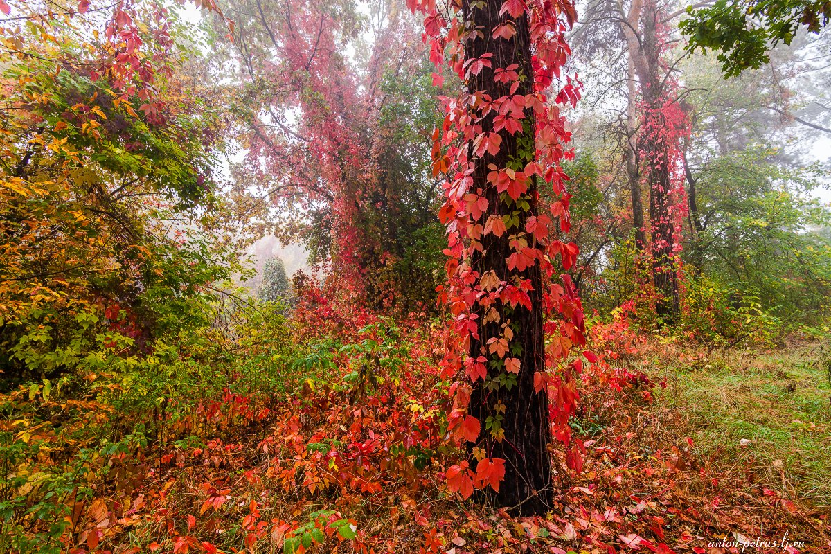 Лес, Осень, Туман, Антон Петрусь